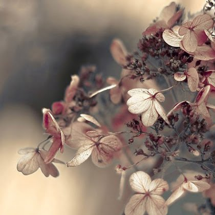 Hydrangea Blushing fine art flower photography print by Raceytay (via weheartit.com)